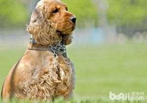 狗狗受伤时的处理方法-成犬饲养