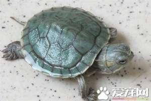 风水龟养几只 养龟的风水需要注意事项