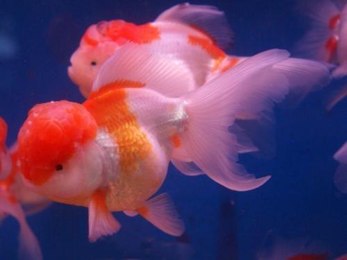 红狮头金鱼品种介绍